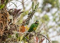 Golden-plumed Parakeet; Ecuador, Prov. Zamora-Chinchipe, Tapichalaca Reserve