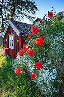 Röda blommor vid Dalarö strandväg på Dalarö si Stockholms kärgård.