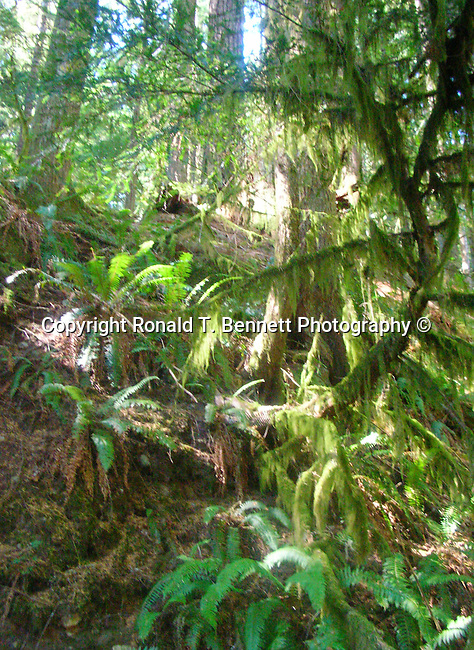 Oregon rain forest moss ferns and fir trees, Oregon,  Pacific Ocean, Plains, woods, mountains, rain forest, desert, rain, Pacific Northwest, Fine Art Photography by Ron Bennett, Fine Art, Fine Art photography, Art Photography, Copyright RonBennettPhotography.com © Fine Art Photography by Ron Bennett, Fine Art, Fine Art photography, Art Photography, Copyright RonBennettPhotography.com ©