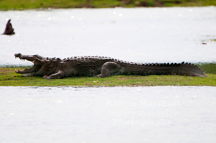 """Mugger crocodile (Crocodylus palustris = """"crocodile of the marsh""""), also called the Indian, Indus, Persian, marsh crocodile or simply mugger, is found throughout the Indian subcontinent and the surrounding countries. Udawalawe National Park - Sri lanka."""