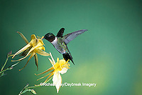 01162-050.16 Ruby-throated Hummingbird (Archilochus colubris) male on Yellow Columbine (Aquilegia chrysantha) Shelby Co.  IL