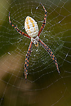 Banded Garden Spider on its web.