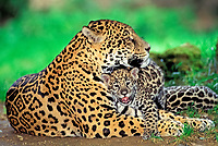 jaguar, Panthera onca, adult, female, mother, cub, playing
