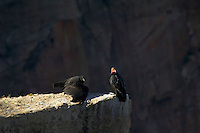 California Condors (Gymnogyps californianus)--adult with young untagged condor.  Grand Canyon, Arizona.