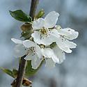 Blossom of sweet cherry 'Vega', late April.