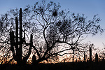 Sabino Canyon, Tucson, Arizona; a large palo verde tree and saguaro cactus silhouette against a sunset sky