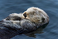 Sea Otter (Enhydra lutris) sleeping in sheltered bay. California coast.