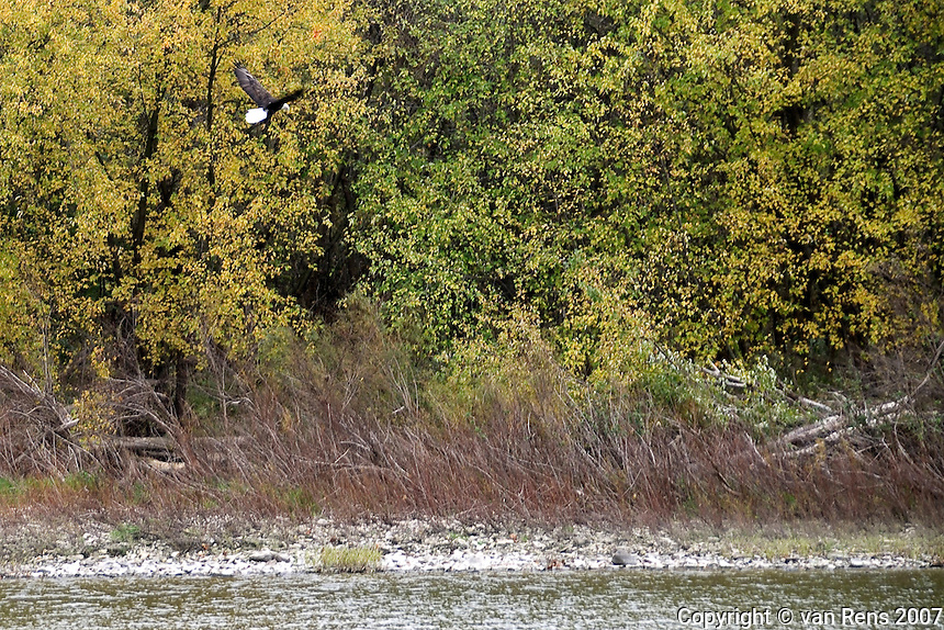 Bald Eagle sighting on the Maumee River at Side Cut Park in Maumee, OH between 11:42am and 11;47am Nov. 5, 2007