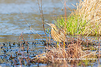 00685-00608 American Bittern (Botaurus lentiginosus) eating tadpole in wetland Marion Co. IL