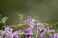 01575-01818 Song Sparrow (Melospiza melodia)  singing on Dwarf Korean Lilac Bush (Syringa meyeri 'Palibin'), Marion Co., IL