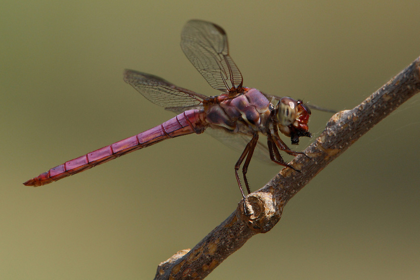 The Roseate Skimmer (Orthemis ferruginea) is a southern dragonfly. The male of the species has a rose pink and red/maroon colored abdomen (as seen here).