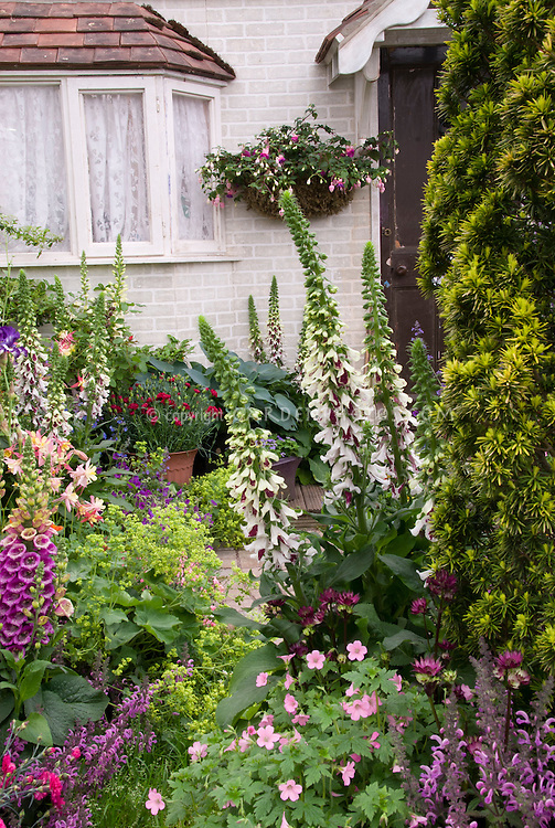 Foxglove Digitalis, Aquilegia columbine, Fuchsiain pot container against house, geraniums, evergreen shrub, Nepeta, salvia, alchemilla, dianthus, hosta, house window and front entry door, mixed plantings in spring garden