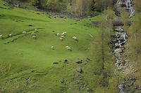 Sheep in the pasture with bridge crossing stream, Reutte district, Tyrol, Tirol, Austria.