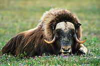 Muskox (Ovibos moschatus) bull resting among arctic wildflowers.  Alaska.  Summer.