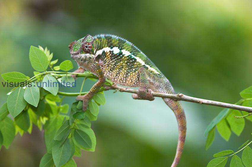 Panther Chameleon (Chamaeleo pardalis), Madagascar