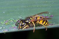 Gemeine Wespe, Gewöhnliche Wespe, mit Blattlaus, Blattläusen, Vespula vulgaris, Paravespula vulgaris, common wasp, yellowjacket