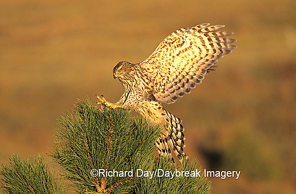 00785-003.16 Northern Goshawk (Accipiter gentilis) immature landing on pine tree,  CO