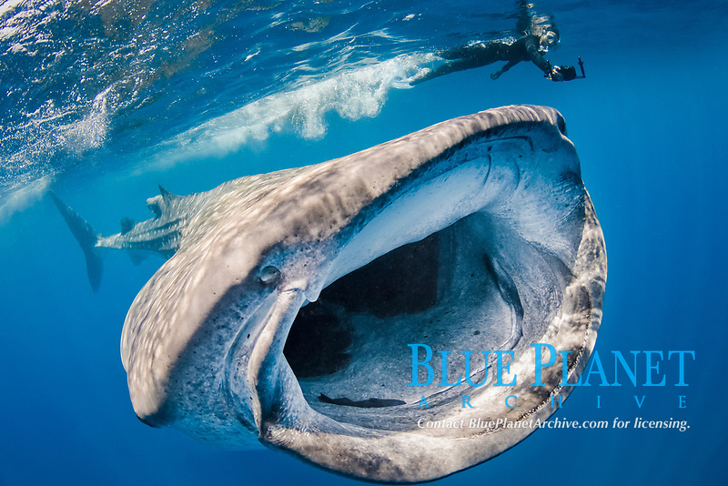 whale shark, Rhincodon typus, feeding on plankton, Isla Mujeres, Mexico, Caribbean Sea, Atlantic Ocean
