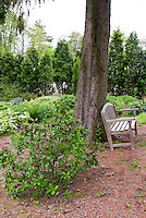 Calycanthus floridus spring flowering shrub under tree in shade with garden bench, showing entire plant habit, May