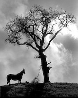 Horse standing next a lone oak tree atop a hill just outside Walnut Creek, Ca. (1965 photo by Ron Riesterer)