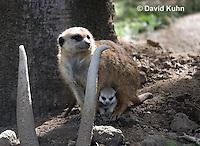 0329-1012  Meerkat with Baby (Pup), Suricata suricatta  © David Kuhn/Dwight Kuhn Photography.