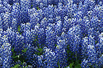 Blanketed with Bluebonnets