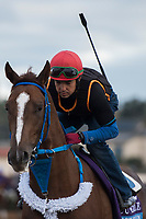DEL MAR, CA - NOVEMBER 02: Golden Dragon, owned by Olympia Star, Inc. and trained by Mikhail Yanakov, at Del Mar Thoroughbred Club on November 2, 2017 in Del Mar, California. (Photo by Jamey Price/Eclipse Sportswire/Breeders Cup)