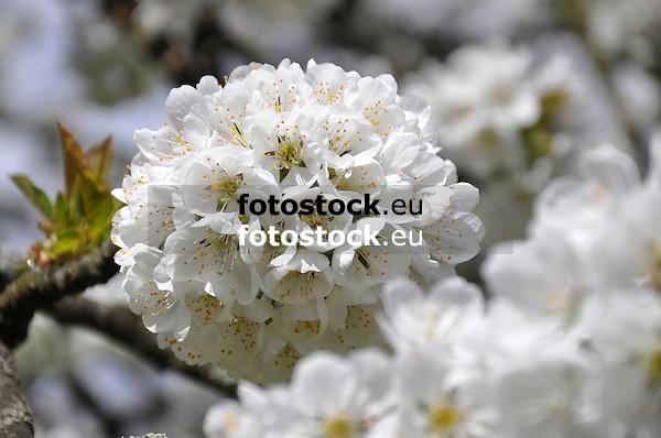 weiße Kirschblüten am Zweig eines Kirschbaums