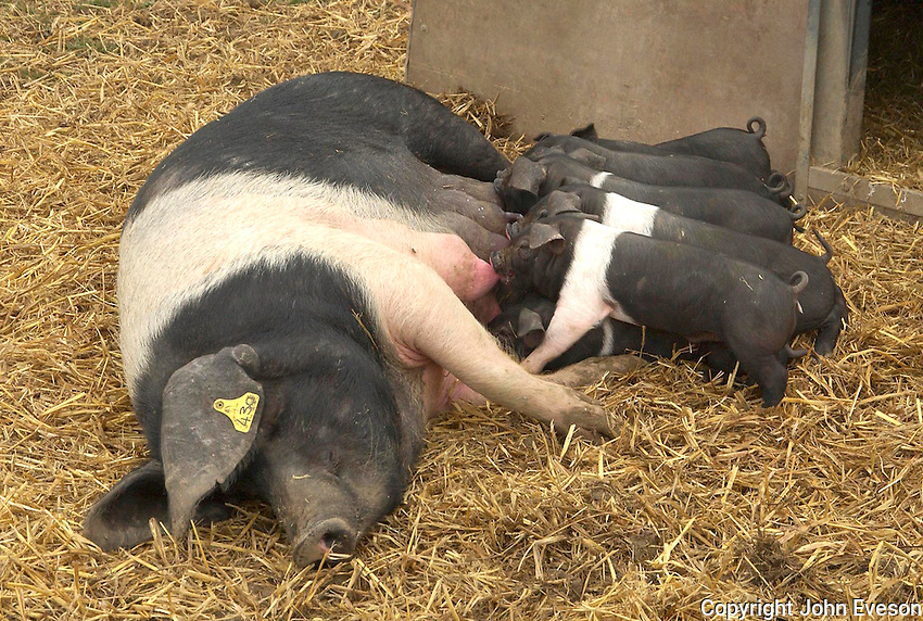 A British Saddleback sow with her litter of 11, three week old piglets.