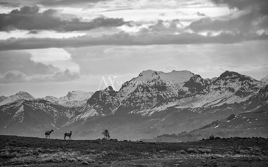 Elk forage at dawn in Yellowstone's northern range.
