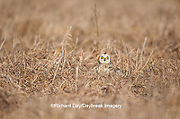 01113-009.10 Short-eared Owl (Asio flammeus) on ground at Prairie Ridge State Natural Area, Marion Co., IL