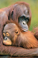 Orangutans (Pongo pygmaeus)--mother with young..(Lowry Park Zoo, Tampa, Florida)