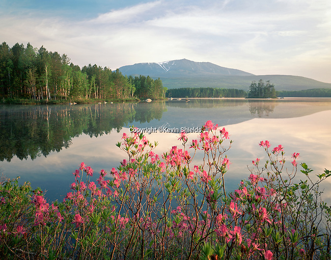 View of Mt. Katahdin in Baxter State Park, Maine, USA, with rhodora in bloom.
