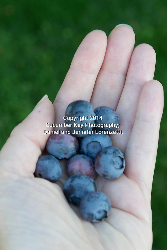 The first harvest of fresh blueberries from a home garden.