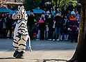 February 2, 2016, Tokyo, Japan - A zoo staff member dressed in a zebra costume is seen roaming the grounds as visitors look on at Tokyo's Ueno Zoo during a animal escape emergency drill. (Photo by AFLO)