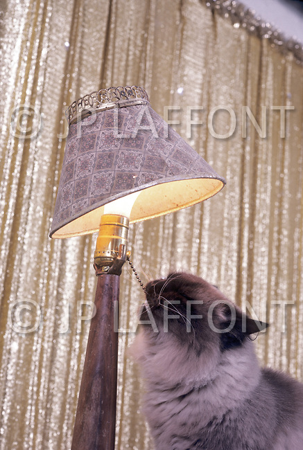 California, Los Angeles, 1982. American animal trainer Moe Di Sesso transforming the most diverse animals into cinema stars. Among his successes, the famous German Shepherd, Rin Tin Tin. Picture of cat trained to light a lamp. He died in Newhall, CA at age 83.