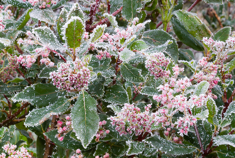 Winter frost ice snow on plant and buds and flowers