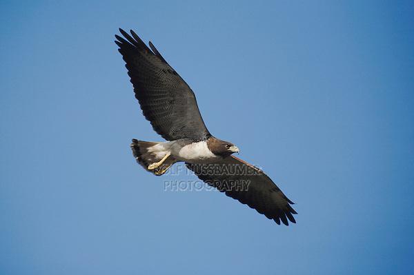 White-tailed Hawk (Buteo albicaudatus), adult in flight, Sinton, Corpus Christi, Coastal Bend, Texas, USA