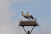 Weißstorch, Weisstorch, Weiß-Storch, Pärchen auf Nest, selbstgebaute Nestplattform, Nisthilfe, Vogelschutz, Storch, Ciconia ciconia, White Stork, Cigogne blanche