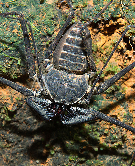 A whip scorpion is one of the creepiest bugs that can be found during a night walk.