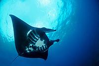 reef manta ray, Manta alfredi, black color morph, Manta Point, Nusa Penida, Bali, Indonesia, Indo-Pacific Ocean