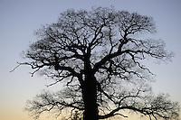 Oak tree, Quercus robur, Parque Natural Hoces del Rio Riaza, Monejo de la Vega, Segovia, Spain