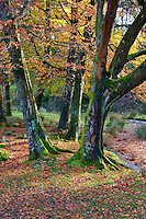 Marshaw Wyre and autumn trees, Marshaw, Over Wyresdale, Forest of Bowland, Lancashire, UK