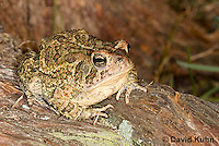 0602-0923  Fowler's Toad, Anaxyrus fowleri [syn: Bufo fowleri (Bufo woodhousii fowleri)]  © David Kuhn/Dwight Kuhn Photography