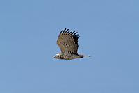 Short-toed Eagle, Imm - Circaetus gallicus