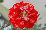 Snow covered red rose