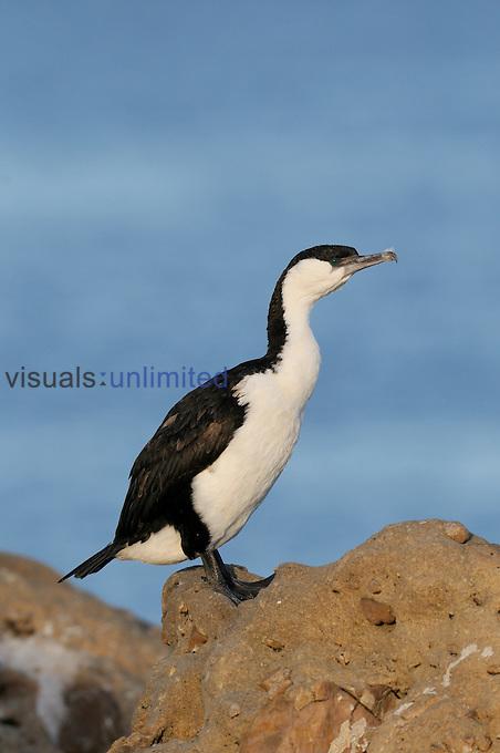 Black-faced Cormorant (Phalacrocorax fuscescens) Tasmania, Australia