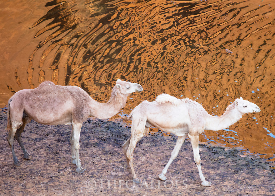 Chad (Tchad), North Africa, Sahara, Ennedi, camels at water in canyon