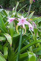 Crinum x powellii AGM summer flowering bulb, pink bloom