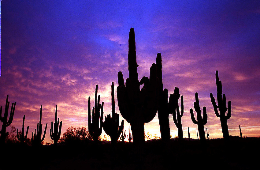 #!dcdisplay.\fp\\b0\\i0\\fs10\Date~06.06.2000; Shot=xxxx.xx.xx; Source=Local:Staff; Time~11:31; Type=Picture;.--------------------------------.\fs16\\b\Saguaros\fs12\\b0\......Morning first light illuminates this stand of saguaros in the Growler Wash of the Cabeza Prieta National Wildlife Refuge just south and east of Ajo, AZ......\fp\\b0\\i0\\fs10\--------------------------------.\fp\\i0\\b\\fs16\Digital Collections/IPTC..\fp\\b0\\i0\\fs10\Photographer=Pk_Weis; .